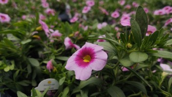 "4.5"" Calibrachoa Light Pink Kiss"