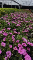 Hot Pink Calibrachoa