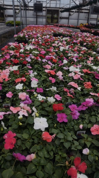 Mixed Impatiens