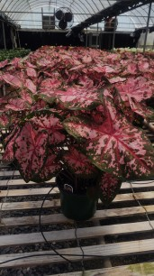 "6.5"" Caladium Carolyn Whorton"
