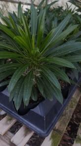 "4"" Madagascar Palm"