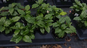 "4"" Coffee Plants"