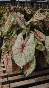 "10"" White Queen Caladium"