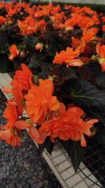 """6.5"""" Begonia"""