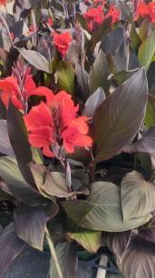 Scarlet Canna