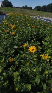"8"" Indian Summer Rudbeckia"
