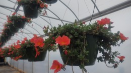 Portulaca Hanging Baskets