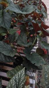 Cane-Stemmed Begonias