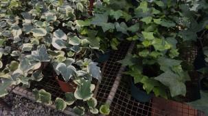 "6"" Algerian Ivy"