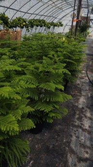 """8"""" Norfolk Island Pine"""