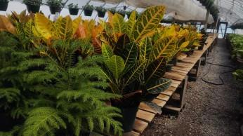 "6"" Norfolk Island Pine, Croton Petra"