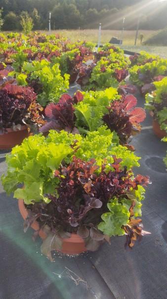 Lettuce Mix Bowls