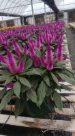 "6.5"" Deep Purple Celosia"