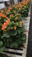 """6.5"""" Orange Rieger Begonia"""