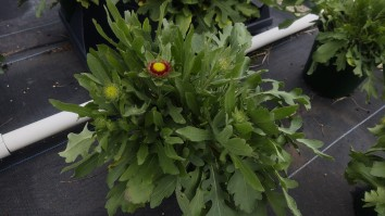 Gallon Gaillardia