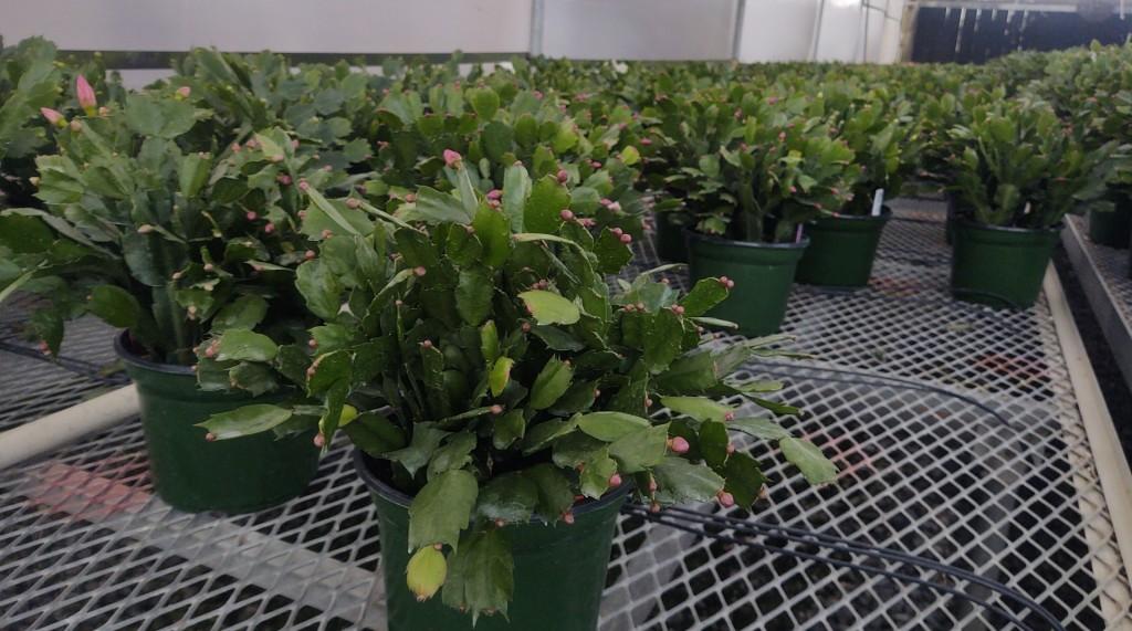 "6"" Christmas Cactus"