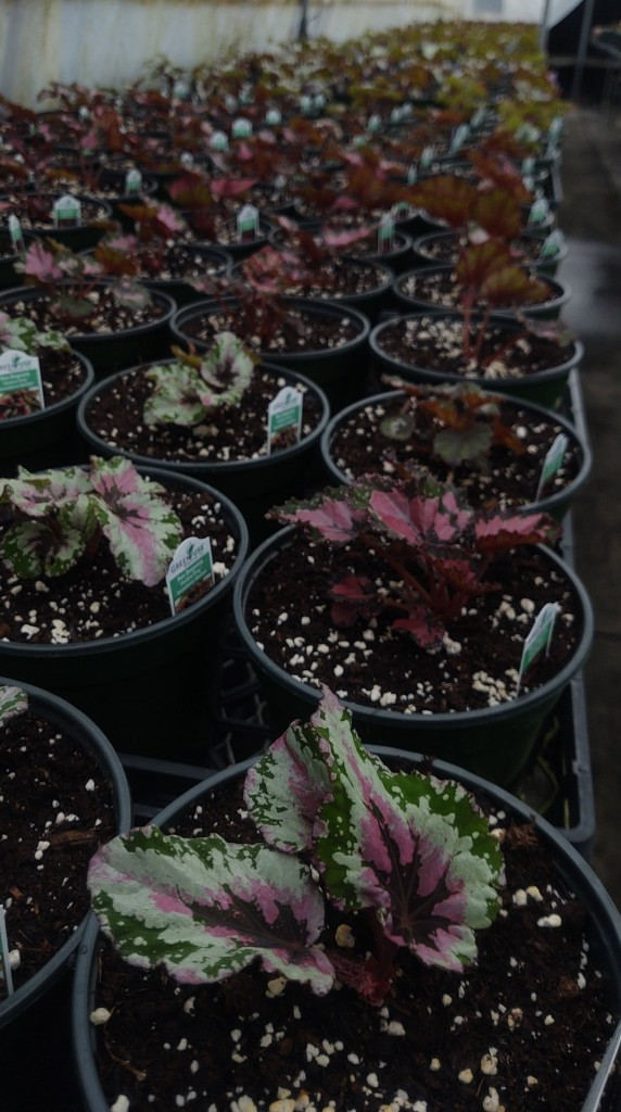 Rex Begonias for Spring!